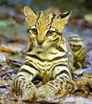 ALC-cat